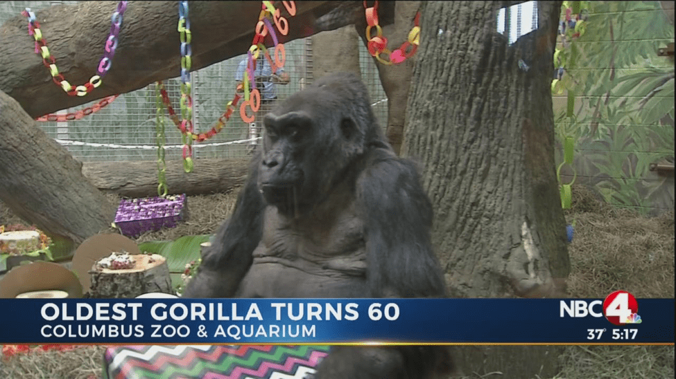 Gorilla Turns 60